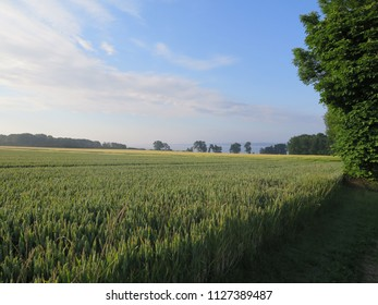 Wheat field in sunlight in southern Denmark