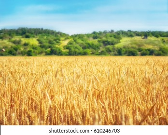 Wheat field in sunny day