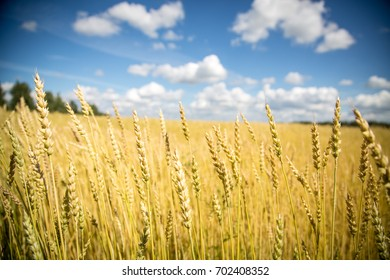 Wheat field at sunny day close focus