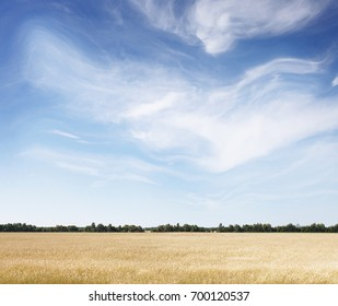 Wheat field and sunny day. Summer background, mock up for design