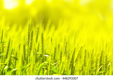 Wheat field in Sunny day. Sun glowing. Grains harvesting and Seasons. Agricultural theme. Natural blur background. Selective focus.Toned colors