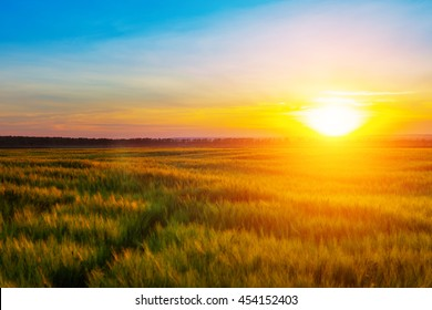 Wheat field at sunset. Beautiful sunset Nature background.