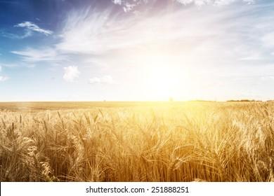 Wheat field at sunset. Ears closeup. The sunbeams.