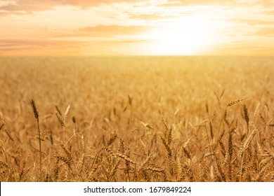 wheat field at the sunset, evening outdoor agricultural  scene