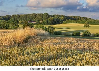 Wheat field in sunset light near Malente in Schleswig-Holstein, Germany