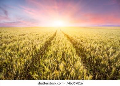 Wheat field in sunset in Xinjiang