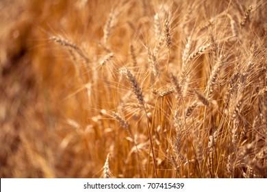 Wheat field. Toned photo.