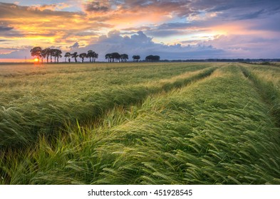 Wheat field with tractor tracks towards the horizon in Holland