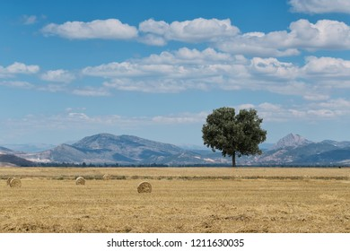 Wheat field with a tree and hay bales