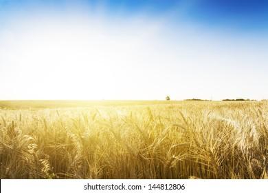 Wheat field under blue sky. Golden sunset in wide meadow. Ukraine.