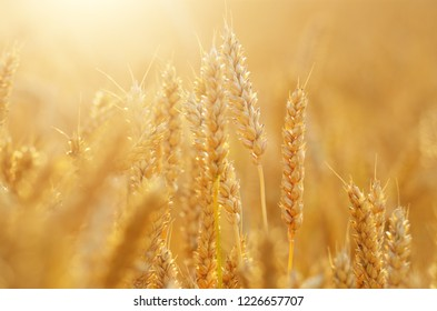 Wheat field under cloudy blue sky in Ukraine