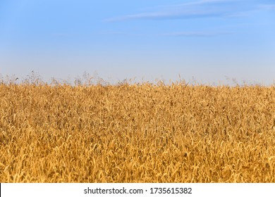 Wheat field in the village, harvesting. Dinner. Scythe and sickle are hand tools.