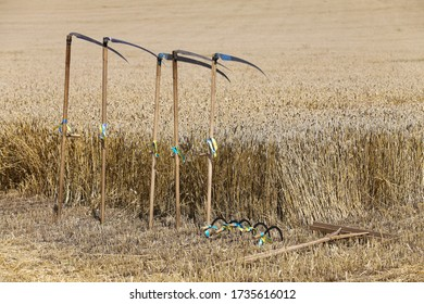 Wheat field in the village, harvesting. Scythe and sickle are hand tools.