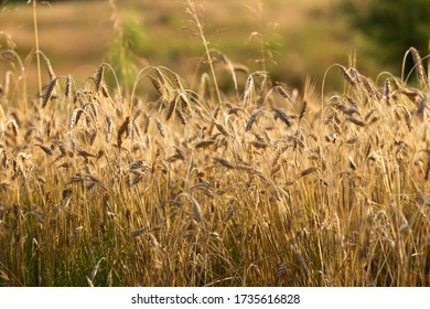 Wheat field in the village, harvesting. Sunny summer weather