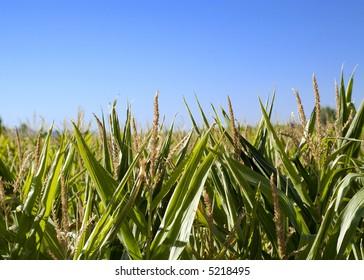 Wheat field in Villarquemado, Spain.