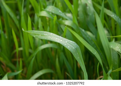 Wheat field with water drops