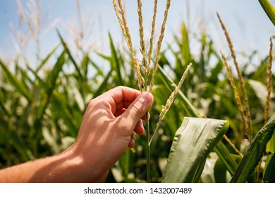 wheat field. wedding ring in the groom's hand