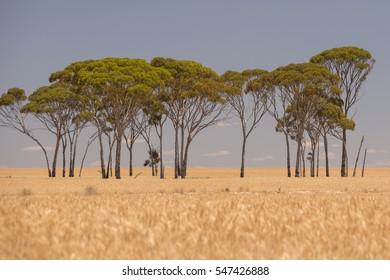 Wheat field in Western