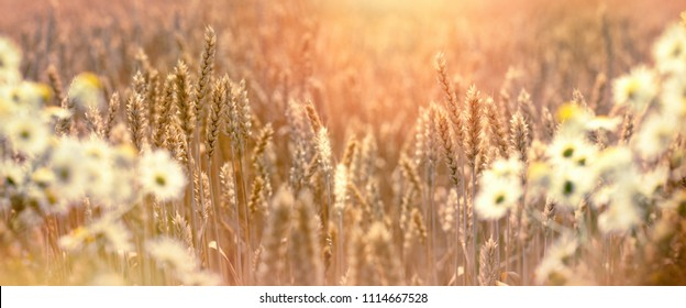 Wheat field and wild chamomile - daisy flower, whet field in evening in dusk