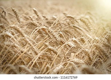 Wheat field, wheat field will bring a rich harvest - wheat field lit by sunlight in late afternoon