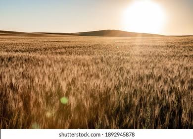 Wheat fields in North Dakota with sunflare