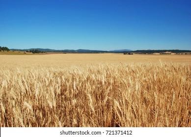 Wheat fields on the Peone Prairie, Spokane County, Washington