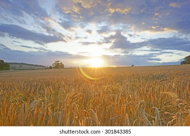 Wheat fields, with selective focus, against the sun at sunset with original lens flare effect, Painswick, The Cotswolds, Gloucestershire, United Kingdom