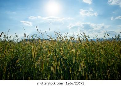 Wheat fields in Studen, Switzerland