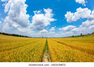 The wheat fields are under the blue sky and white clouds