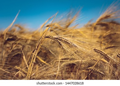 Wheat fields waiting to be harvest.