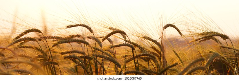 Wheat field.Yellow wheat ears field background.