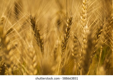 Wheat Filed with selective focus