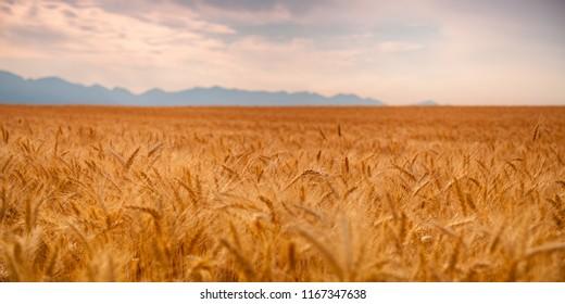 Wheat Flathead Valley Montana