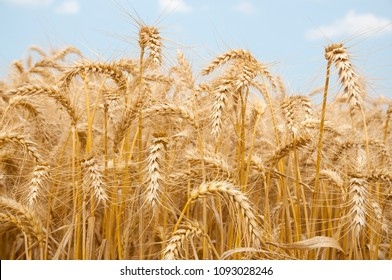 Wheat Gold field