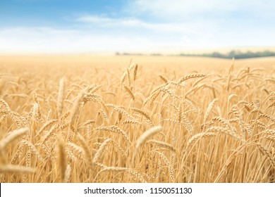 Wheat grain field on sunny day. Cereal farming