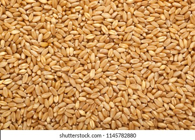 Wheat grain in a square bowl isolated on white background
