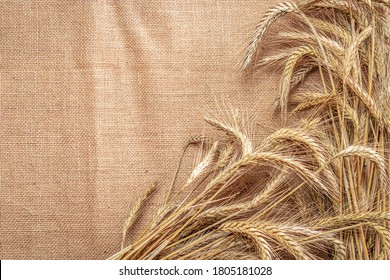 Wheat grain. Whole, barley, harvest wheat sprouts. Wheat grain ear or rye spike plant on linen texture or brown natural organic background, for cereal bread flour. Flat Lay, copy space.