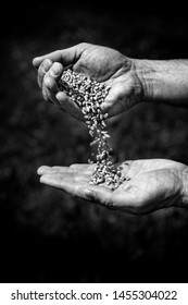 Wheat grains in farmer hands