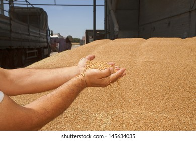 Wheat grains in hands at mill storage