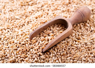 wheat grains with wooden scoop