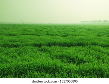 wheat grass bed