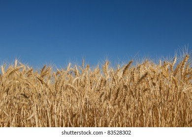 Wheat Grass Farm Field Against Clear Blue Sky Background