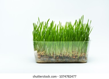 Wheat grass sprouts in a plastic container on a blue background