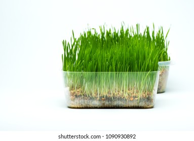 Wheat grass sprouts in a plastic containers on a blue background