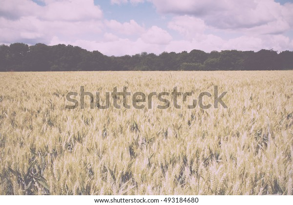 Wheat growing in a field in the Chilterns, England Vintage Retro Filter.