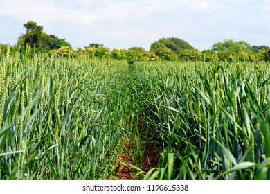 Wheat growing in a field in Kent, England.