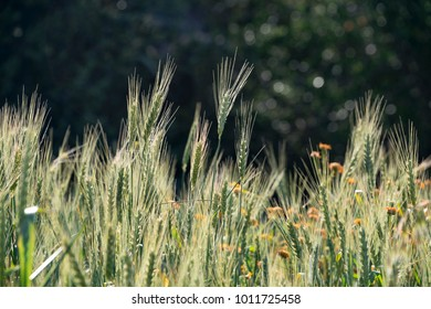 Wheat  growing in nature. Selective focus.