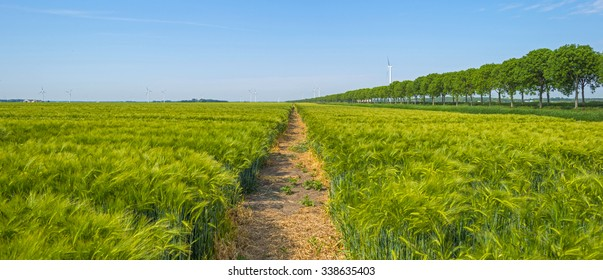 Wheat growing on a sunny field in spring