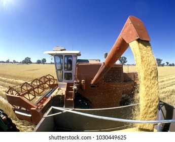 Wheat harvest in the  central west of New South Wales, Australia.golden