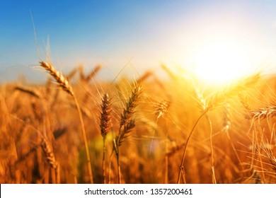 wheat harvest. field of wheat ears. agribiton